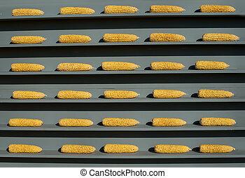 golden cobs corn on a wooden gray shelves
