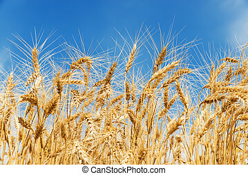 golden color crop on the field and blue sky on background