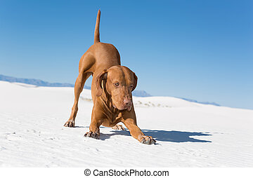golden color dog in playbow position outdoors