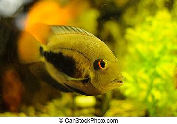 golden color fish in aquarium