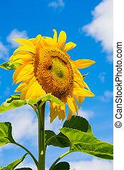 Golden color of a sunflower against the autumn sky