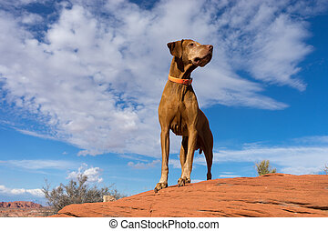 golden color pointer dog standing on red rock with cloudy sky in the background