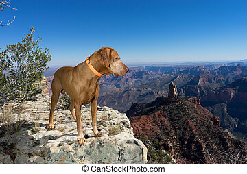 golden color pointer dog standing on the edge of Grand Canyon North rim