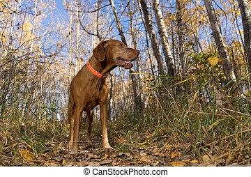 golden color vizsla dog in fall forest