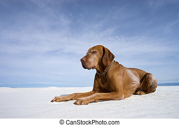 golden color vizsla laying in white sands