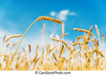 golden color wheat ears on field under blue sky. soft focus