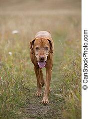golden colour hungarian vizsla walking towards the camera