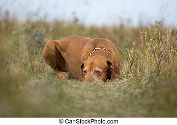 golden colour hunting dog laying calm in the grass