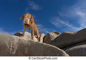 golden colour vizsla dog on a cliff looking down