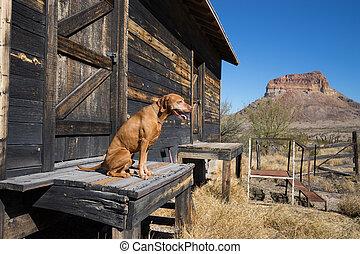 golden colour vizsla dog sitting on the porch of old shack