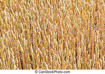 golden corn field in detail