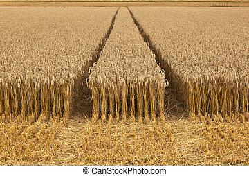 corn fields with corn ready for harvest - golden corn fields...