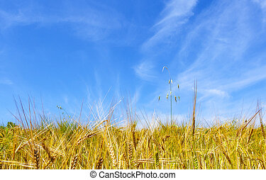 golden corn under blue sky