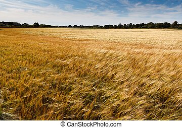 cornfield - golden cornfield on a sunny summer day