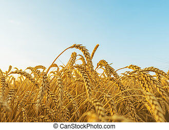 golden crop close-up on field and blue sky in sunset