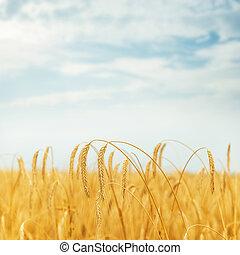 golden crop on field