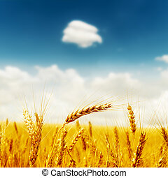 golden crop on field under deep blue sky with clouds