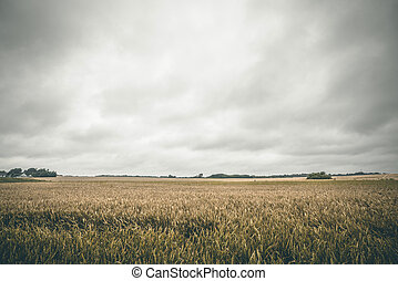 Golden crops on a rural field in the summer