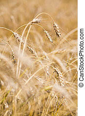Golden crops - Vertical image of several golden crops