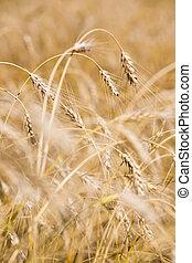 Vertical image of several golden crops