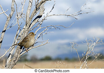 Golden Crowned Sparrow in a leaf bare tree with blue sky and clouds in background