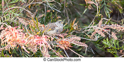 Golden-crowned Sparrow (Zonotrichia atricapilla) feeds on Grevillea 'Superb'