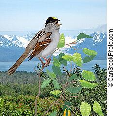 Golden-crowned Sparrow - Zonotrichia atricapilla -Kachemak...