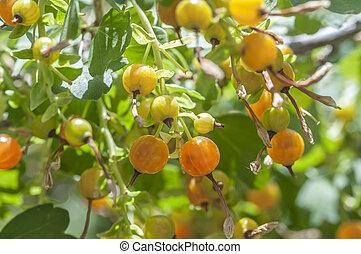 Macro closeup of ribes aureum gracillimum bush with ripe golden currants fruit