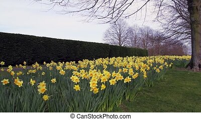 Golden Daffodils - A host of golden Daffodils in springtime,...