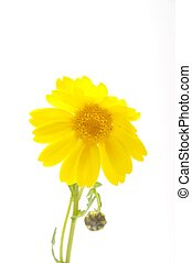 golden daisy on a blue background