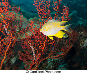 Golden damselfish and red gorgonian coral