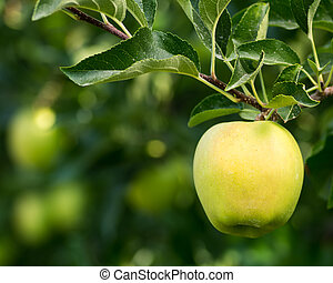 Golden delicious apple hanging on tree