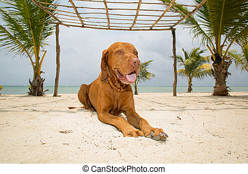 golden dog laying on beach - pure breed golden dog laying on...
