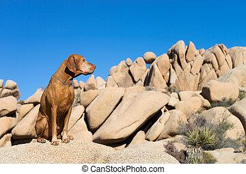golden dog sitting in joshua tree california