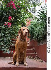 golden dog sitting obediently