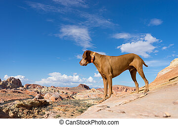 golden dog standing in the valley of fire