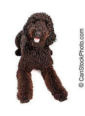 Golden Doodle Dog Laying Down - Black Golden Doodle dog ...