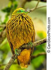 Golden dove sitting on a tree, Viti Levu Island, Fiji