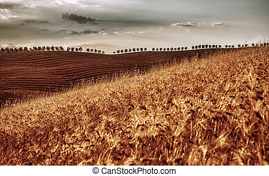 Golden dry wheat field