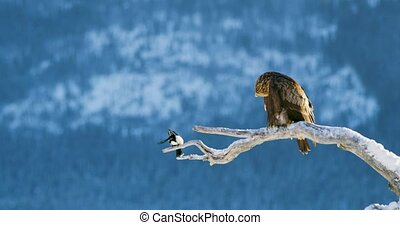 Golden eagle and magpie sits on a tree in the mountains at...