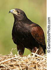 Golden Eagle - Aquila chrysaetos - Scottish Highlands - A...