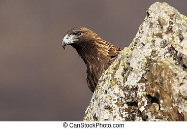GOLDEN EAGLE, Aquila chrysaetos, Bulgaria