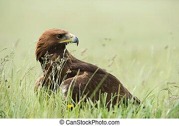 Golden Eagle (Aquila chrysaetos) - Golden Eagle in thick ...