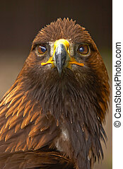 Golden Eagle (Aquila chrysaetos) - In most areas this bird ...