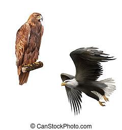 golden eagle (Aquila chrysaetos) orel skalni, merican bald eagle in flight isolated on white background