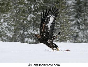 Golden eagle, Aquila chrysaetos single bird in deep snow, ...