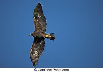 Golden eagle, Aquila chrysaetos, single bird in flight