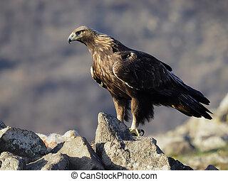Golden eagle, Aquila chrysaetos, single bird on ground, ...