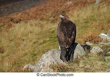 Golden eagle, Aquila chrysaetos, single bird on rock