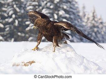 Golden eagle /Aquila chrysaetos/